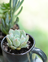 How to Plant a Teacup Succulent